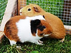 Guinea Pig Boarding at Hutches